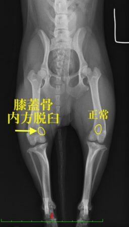 イヌ 膝蓋骨脱臼 福岡